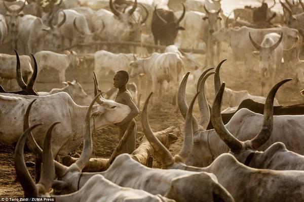 Bộ tộc gội đầu bằng nước tiểu bò, dùng phân làm thuốc 18:44   26/05/2016