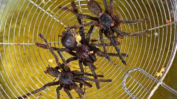 Đặc sản nhện độc hút khách Tây ở Campuchia 15:26   10/02/2017