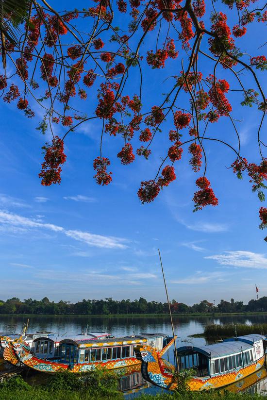 Phượng khoe sắc đỏ bên dòng sông Hương 14:47   05/07/2019
