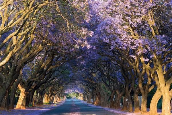 Thiên đường phượng tím giữa lòng Nam Phi 18:12   27/06/2016